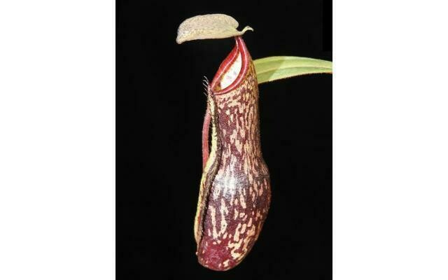 Nepenthes ramispina x vogelii BE-3957