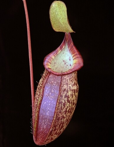Nepenthes spectabilis x talangensis BE-3769 Super Nice!