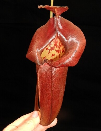 Nepenthes robcantleyi x jacquelineae BE-4028