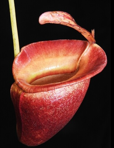 Nepenthes jacquelineae  BE-3874 The Best Clone! (Medium)