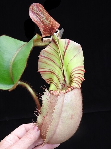 """Nepenthes veitchii """"Bario Squat x Candy Stripe"""" BE-4033 (Grex 2)"""