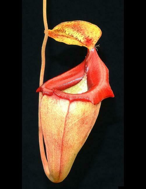 Nepenthes flava BE-3652 (Medium)