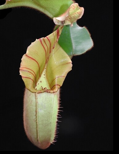 """Nepenthes veitchii """"Bario Squat - Candy Stripe"""" BE-3734 (Grex 1)"""