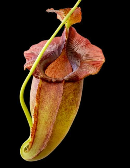 Nepenthes spathulata x jacquelineae BE-3883
