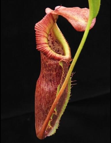 Nepenthes singalana x (burbidgeae x edwardsiana) BE-3984 Nice plants!