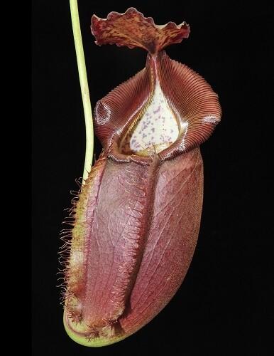 Nepenthes spathulata x gymnamphora BE-3422 (Medium)