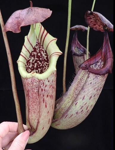 "Nepenthes burbidgeae x robcantleyi ""King of Spades"" (Medium)"