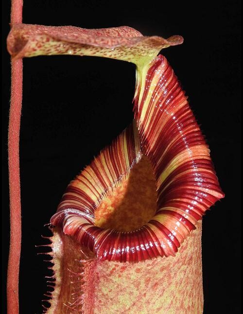 Nepenthes sibuyanensis  x (veitchii x lowii)  BE-3968 Limited!