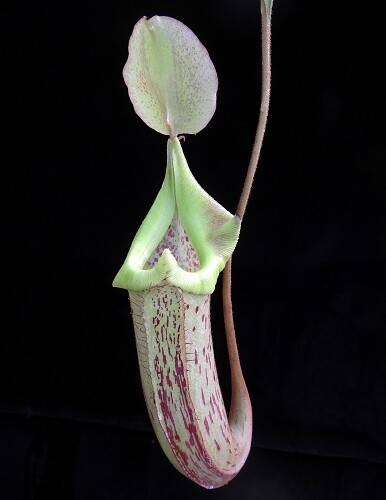 Nepenthes platychila x robcantleyi BE-3946