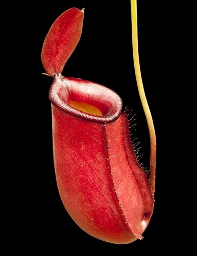 Nepenthes 'Bloody Mary' aka ' Lady Luck'