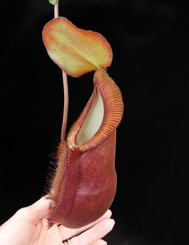 Nepenthes spathulata x diabolica BE-3983 (sm) Limited!