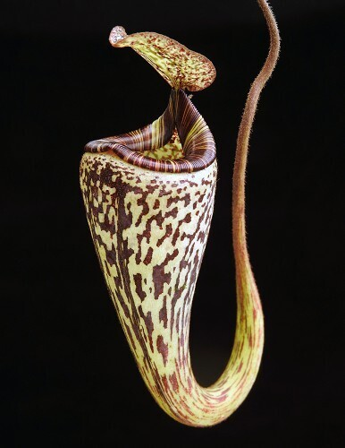 Nepenthes vogelii BE-3256 (Small)