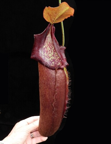 """Nepenthes densiflora x robcantleyi  """" King Of Clubs"""""""