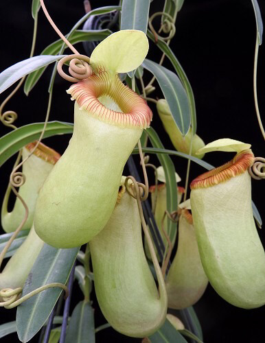 Nepenthes aenigma (Nepenthes barcelonae?)