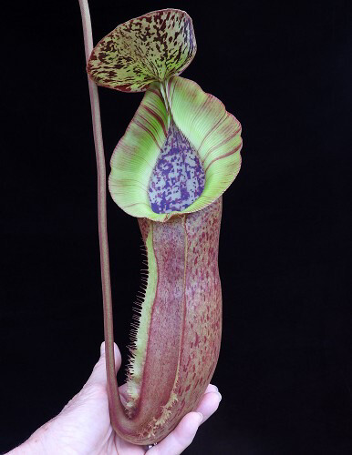 Nepenthes spathulata x (burbidgeae x edwardsiana) BE-3978 Big plants!