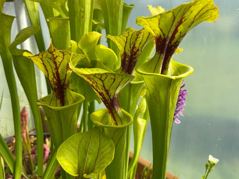 Sarracenia flava Milton Fl. (Assorted Greens)