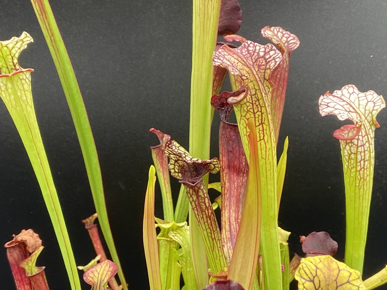 "Sarracenia ""Saurus"" x ""Wilkerson White Knight"" Awesome Plants!"