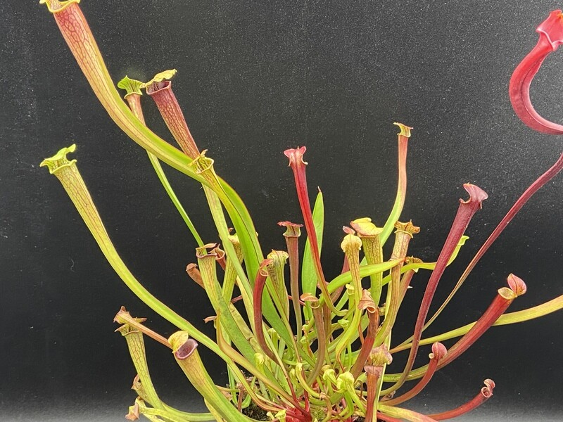 "Sarracenia ""Red Viper "" x  ""Black Widow "" Amazing!"