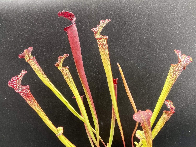 "Sarracenia "" Reptilian Rose"" x "" Saurus """