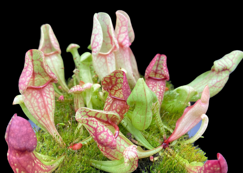 """Sarracenia purpurea ssp. venosa """"Big Dutch Form"""" Selfed"""