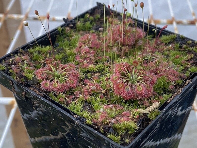 Drosera pygmaea Pygmy Sundew (1 plant)