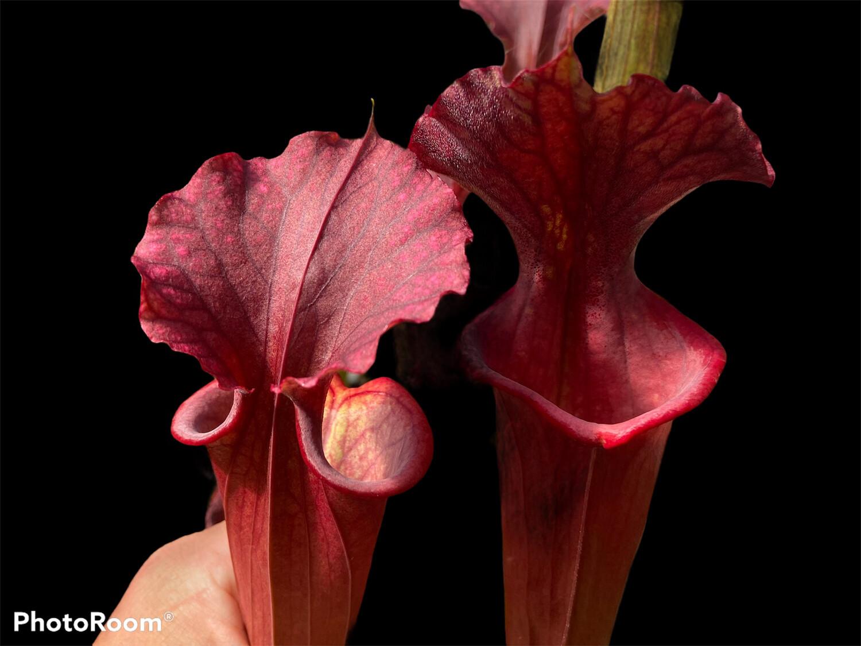 "Sarracenia ""Red Sumatra"" Sumatra Fl."