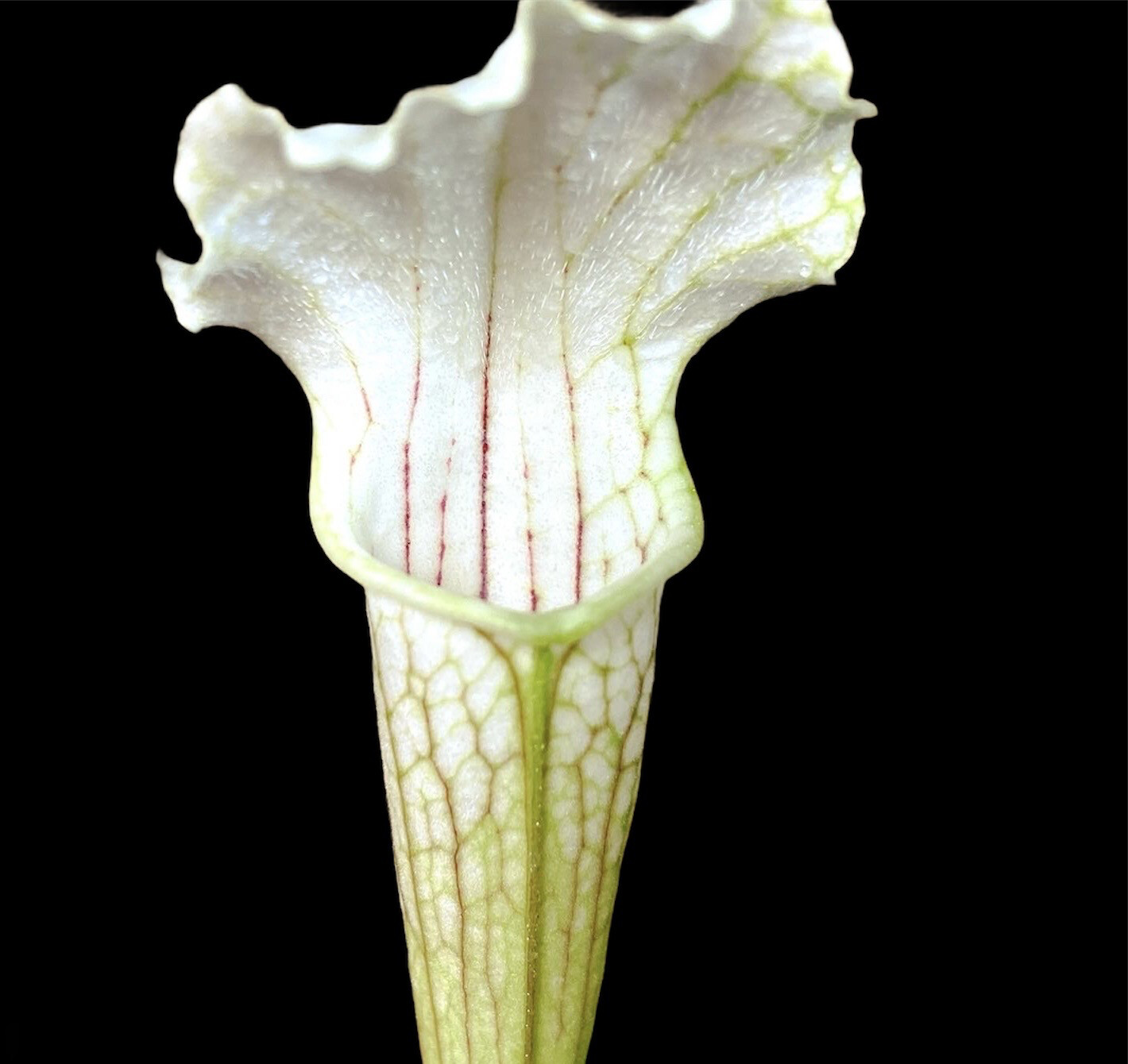 Sarracenia leucophylla ' Schnell's Ghost ' Limited!