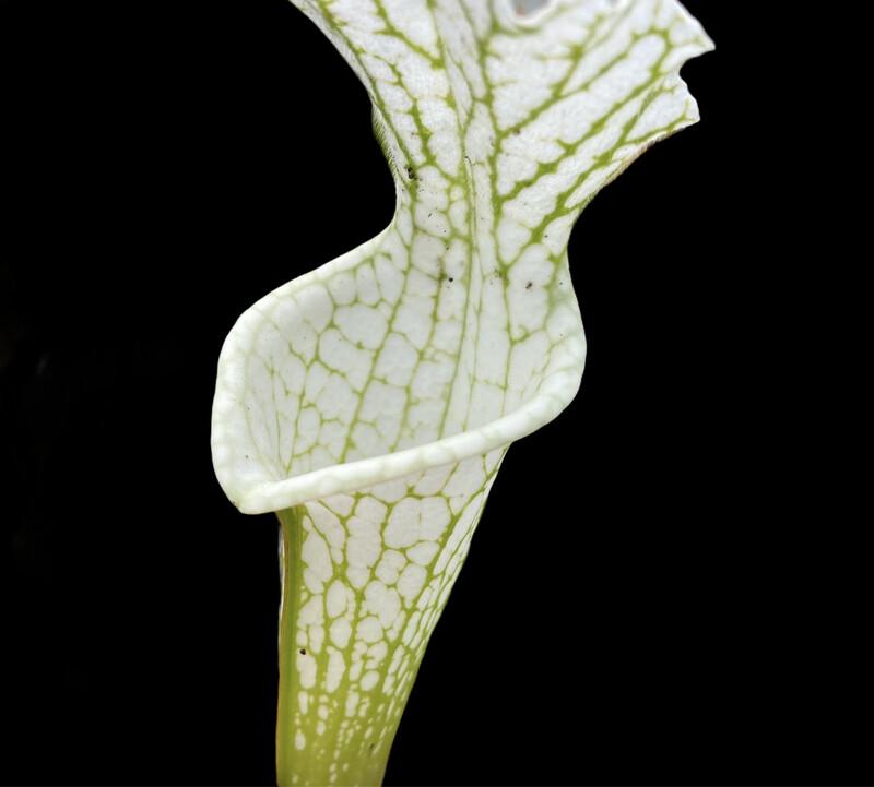 Sarracenia leucophylla 'Hurricane Creek White' Limited!