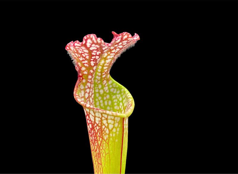 Sarracenia leucophylla var. Leucophylla - Nice Plants!