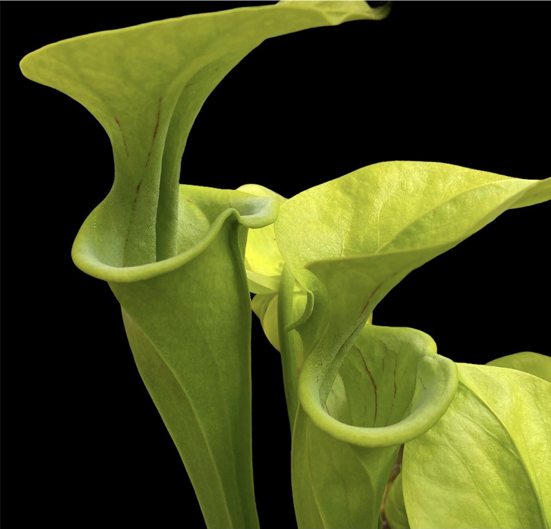 "Sarracenia oreophila var. oreophila ""Sand Mountain"""