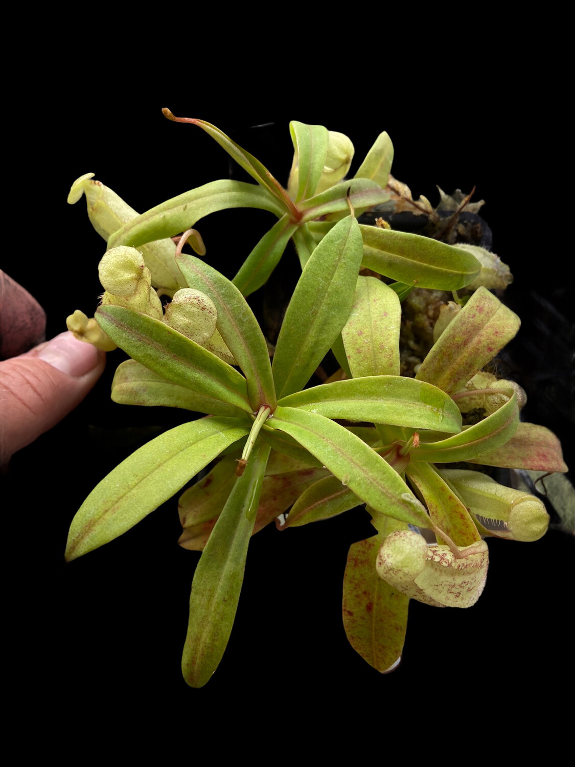 Nepenthes spectabilis - Sibuyatan Form BE-3177 (Small)