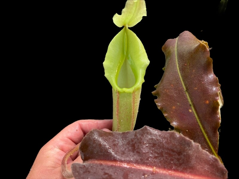 """Nepenthes maxima """"Wavy Leaf"""" BE-3907"""