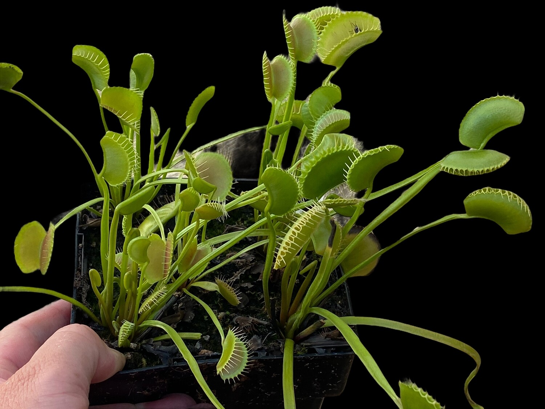 Dionaea muscipula King Henry Venus Flytrap (small)