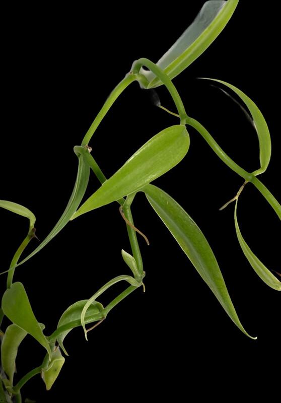 Vanilla odorata Orchid