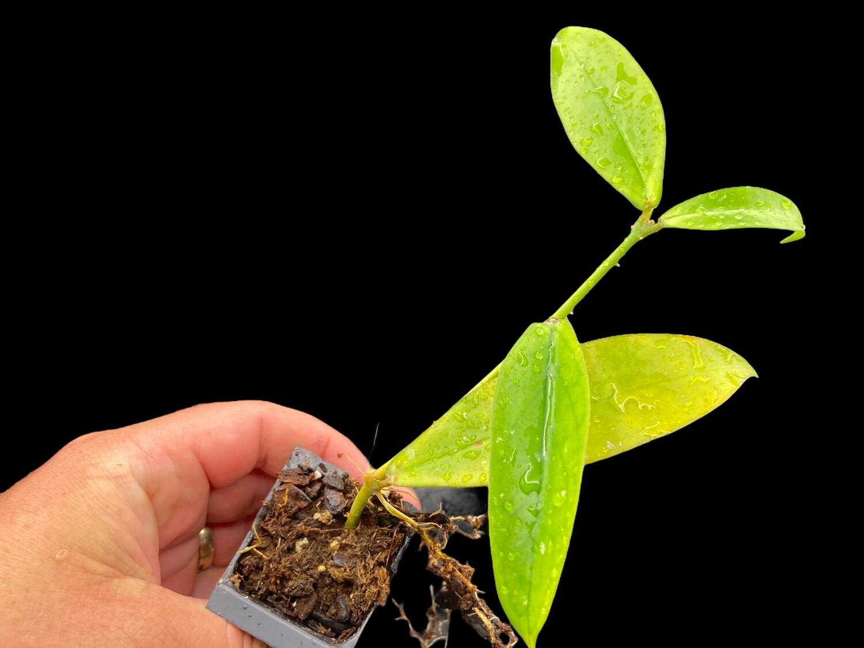 Hoya lobbii Red Flower - Limited!