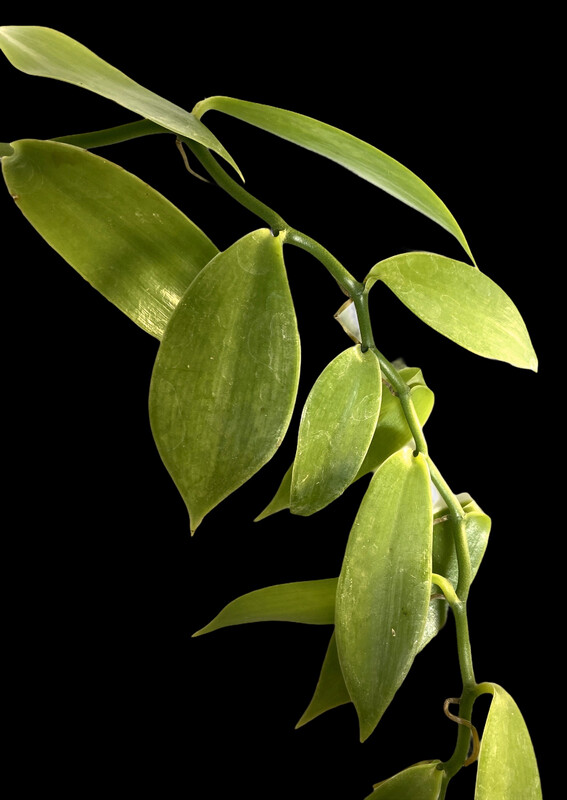 Vanilla planifolia Orchid
