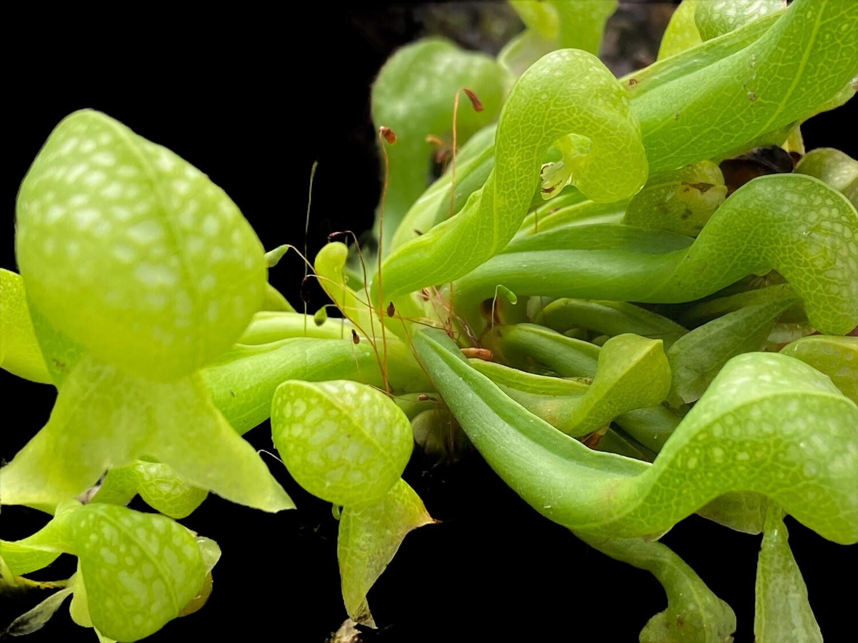 "Darlingtonia californica  Cv Othello  ""Cobra Lily""- small Adult Pitchers"