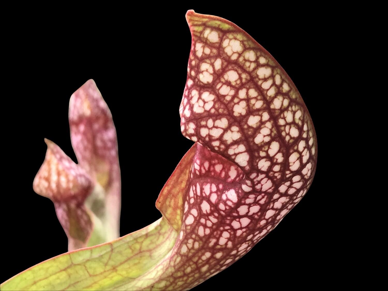 Sarracenia Scarlet Belle
