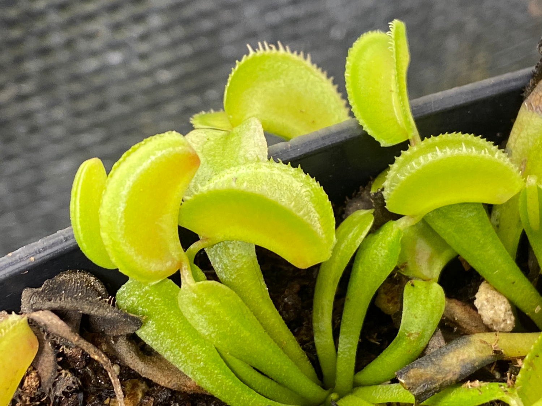 Dionaea muscipula Microdent Venus Flytrap (small)