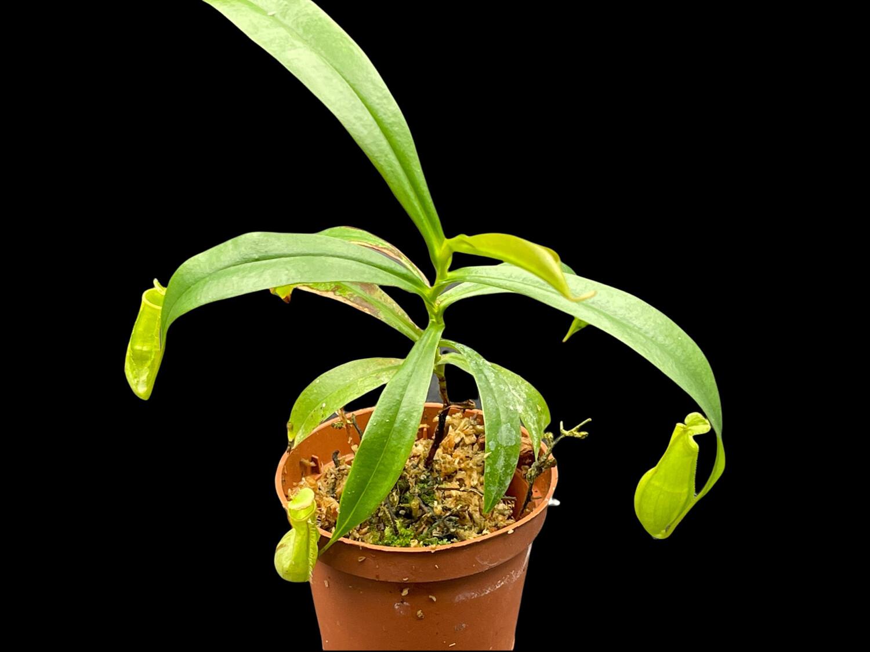 Nepenthes gracilis - Bau Sarawak - Medium