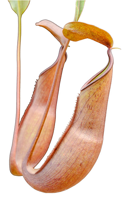 Nepenthes reinwardtiana Red Form