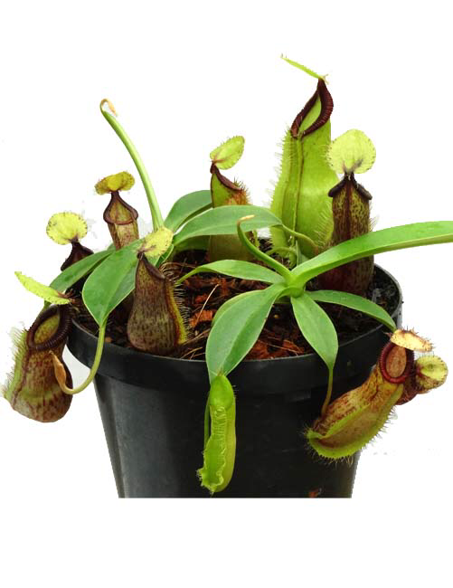 Nepenthes spathulata x hamata BE-3717 (sm)
