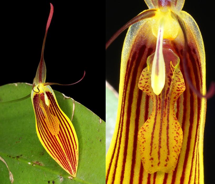 Restrepia falkenbergii Orchid