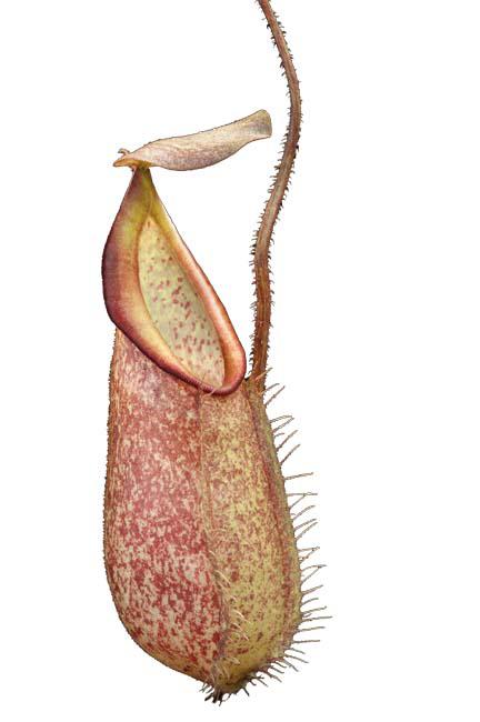 Nepenthes hirsuta - Gunung Serapi