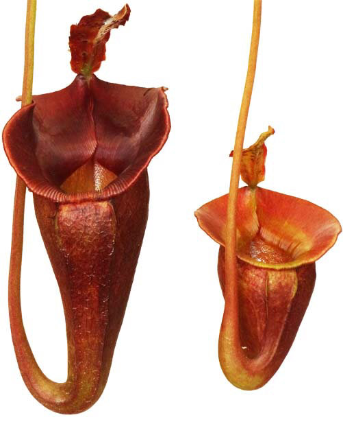Nepenthes jacquelineae  BE 3092