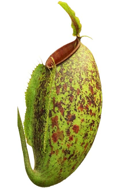 "Nepenthes ampullaria x aristolochiodes ""green form"" (Medium )"