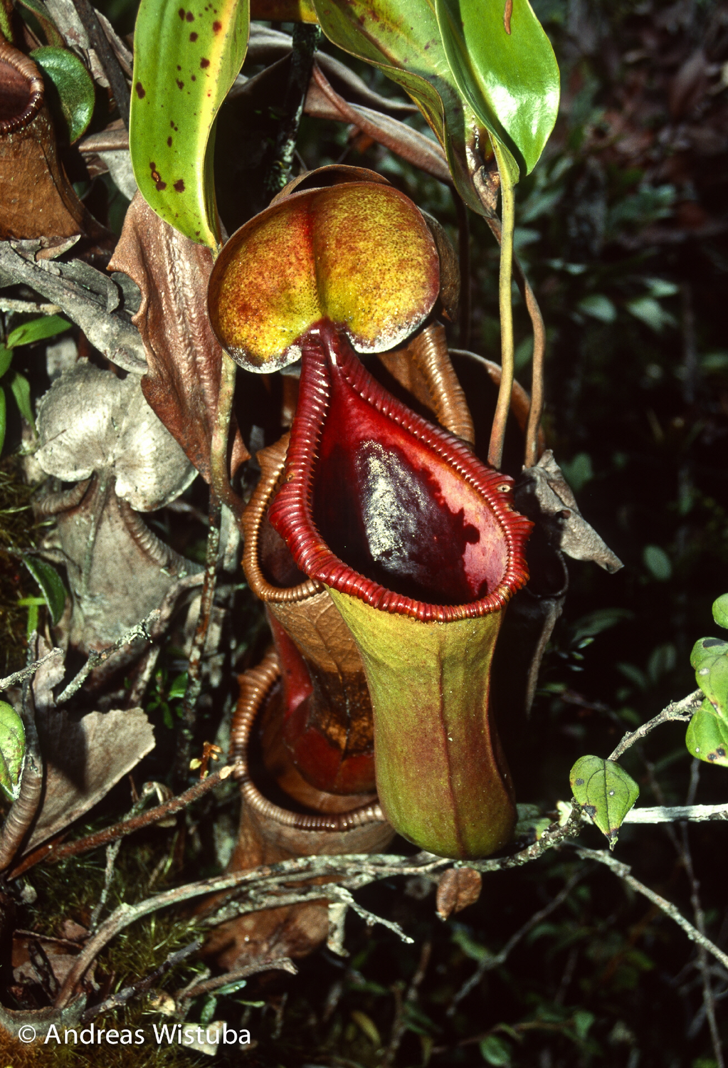 Nepenthes Trusmadiensis