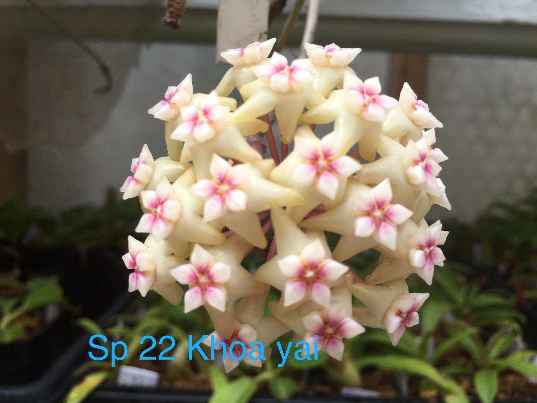 Hoya sp 22 khao yai