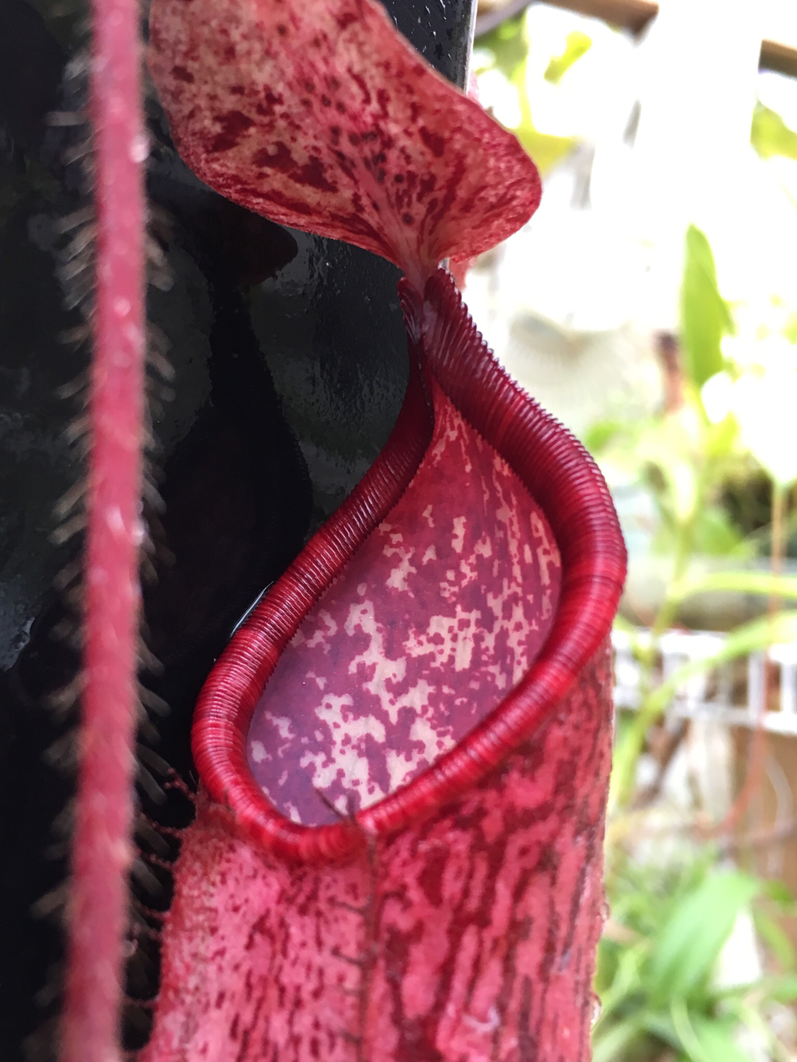 Nepenthes peltata BE -4025
