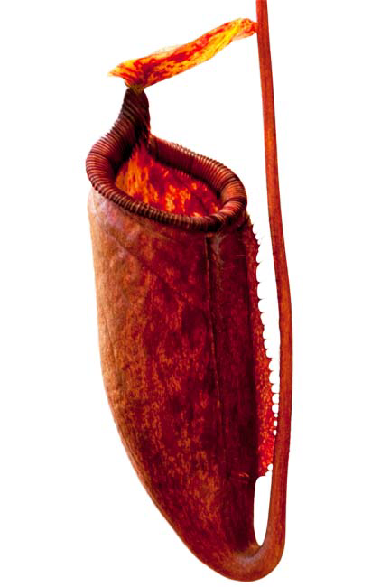 Nepenthes palawanensis - BE-4013 Seed Grown